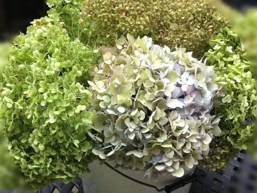 Квадратный венок из гортензий - поставьте срезаные цветы в ведро для сушки